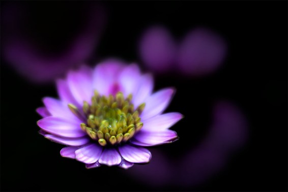 flowers-alowyn-gardens-lensbaby-velvet85-1192