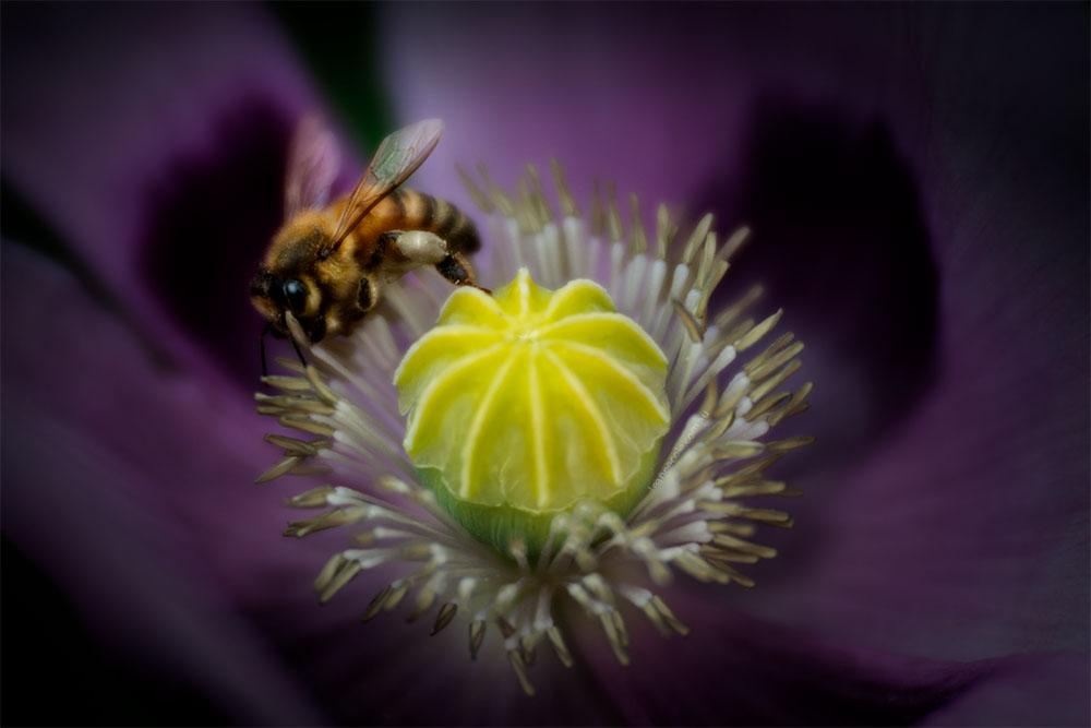 bee-poppy-alowyn-gardens-lensbaby-velvet85