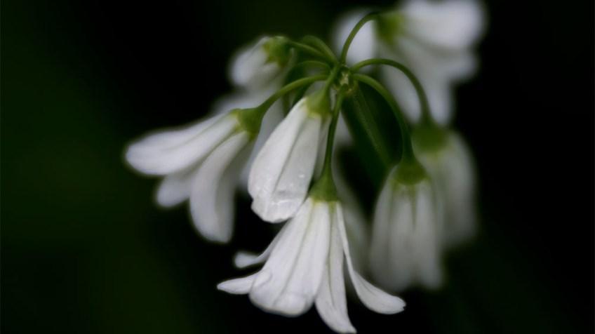 bulb-flower-alowyngardens-lensbaby-Velvet85