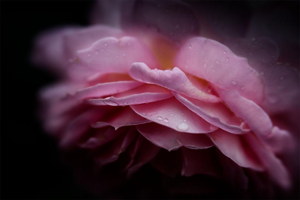 rose-lensbaby-velvet85-macro-alowyngardens