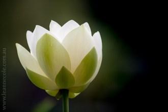 blue-lotus-waterlillies-flower-garden-0240