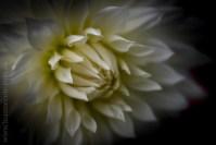 flowers-macro-mifgs-lensbaby-velvet56-9848
