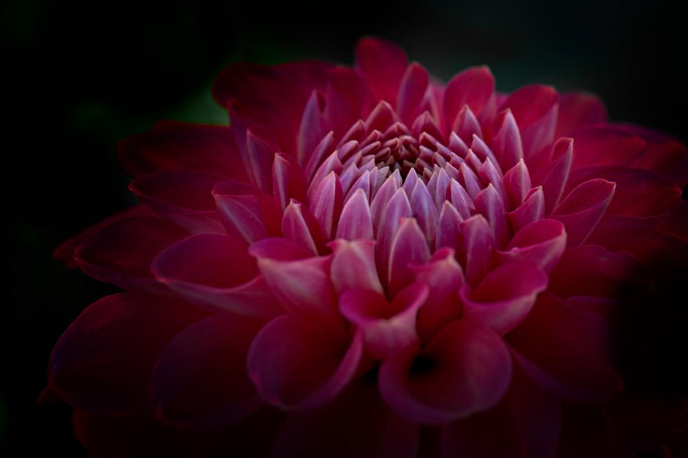 dahlia-country-flower-macro