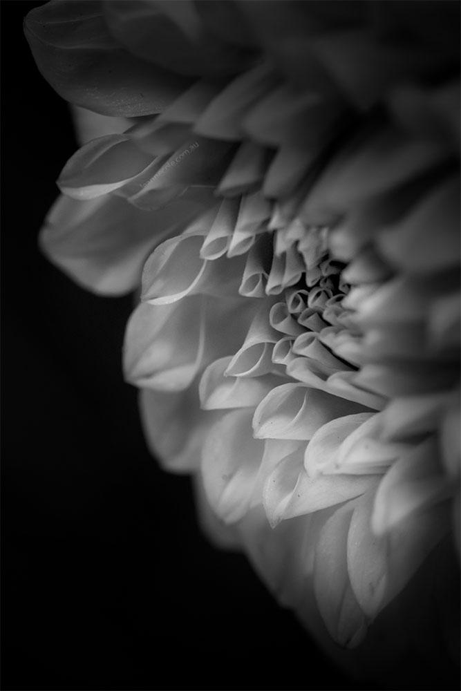 dahlia-monochrome-flower-show-macro