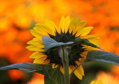 1sml - Sunflower 2