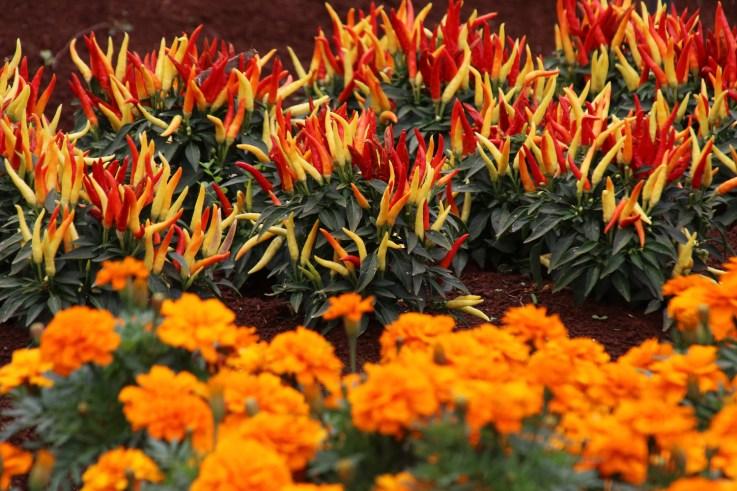 1sml - Tesselaar - Chillis and marigolds