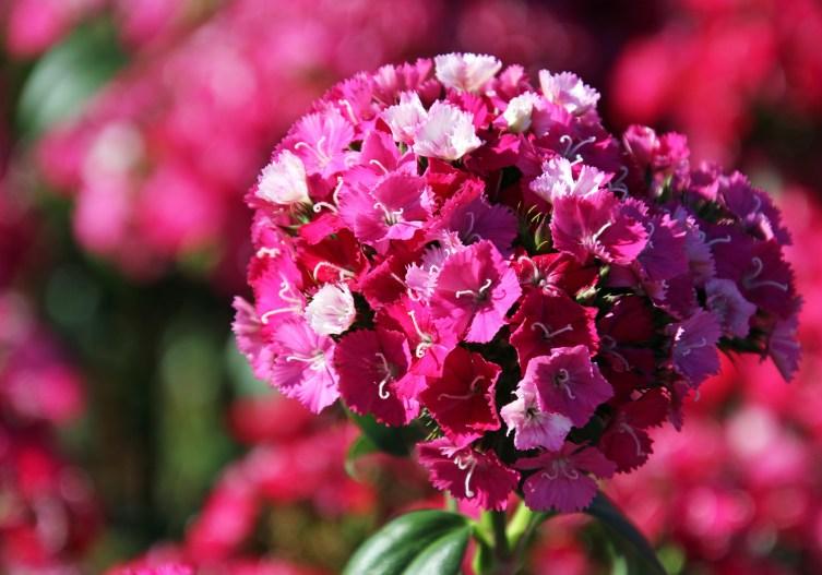 1sml - Tesselaar - bright pink ball of flowers 2