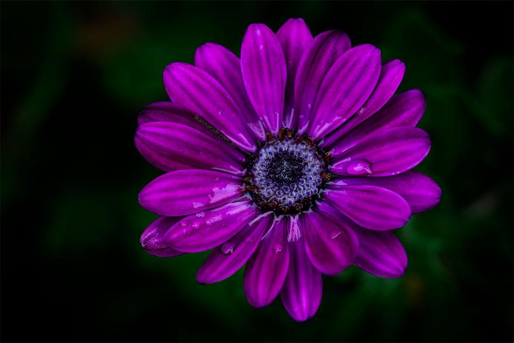 daisy-purple-flower-garden-macro