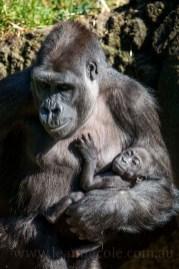 kimya-kanzi-gorilla-melbourne-zoo