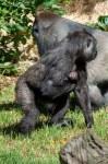 melbourne-zoo-baby-gorilla-1031