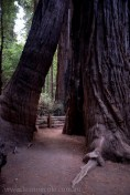 henry-cowell-redwoods-santacruz-mountains-4475