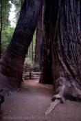 henry-cowell-redwoods-santacruz-mountains-4475