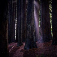 redwoods-californian-trees-beeches-apollobay
