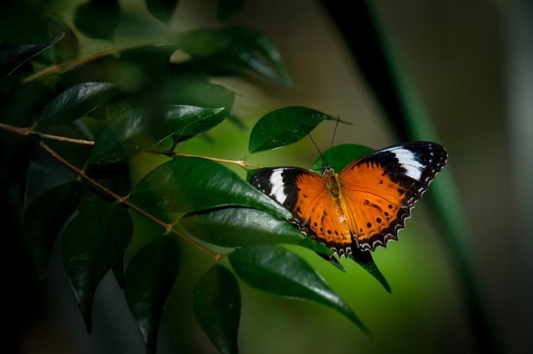 melbourne-zoo-butterflies-fujifilm-xt20-2288