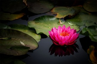 waterlily-bluelotus-garden-melbourne-1231