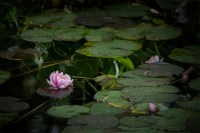 waterlily-bluelotus-garden-melbourne-9475