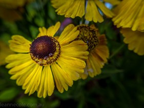 MIFGS-melbourne-flowers-strumanoptics-macro-094606