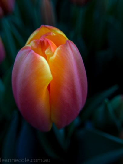 MIFGS-melbourne-flowers-strumanoptics-macro-105000
