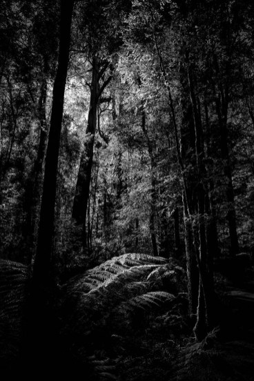 apollo-bay-treetops-rainforest-monochrome