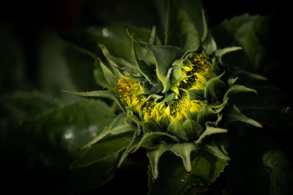 blue-lotus-water-garden-sunflower-0259