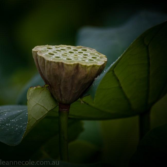 bue-lotus-watergarden-sunflower-secondtime-0235
