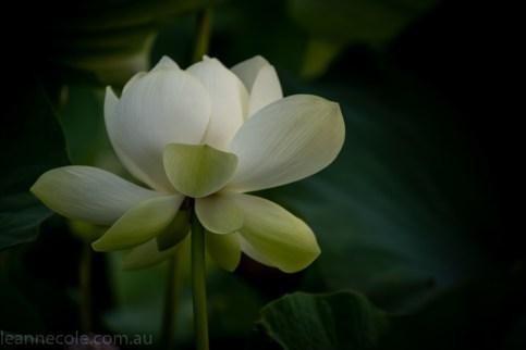 bue-lotus-watergarden-sunflower-secondtime-0245