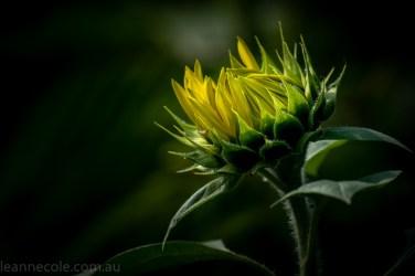 bue-lotus-watergarden-sunflower-secondtime-0353