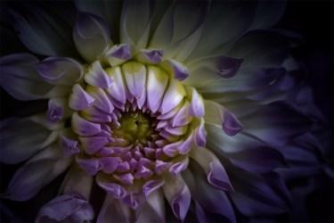 dahlia-flower-melbourne-show-mifgs