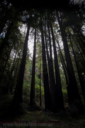 henry-cowell-redwoods-santacruz-mountains-4506