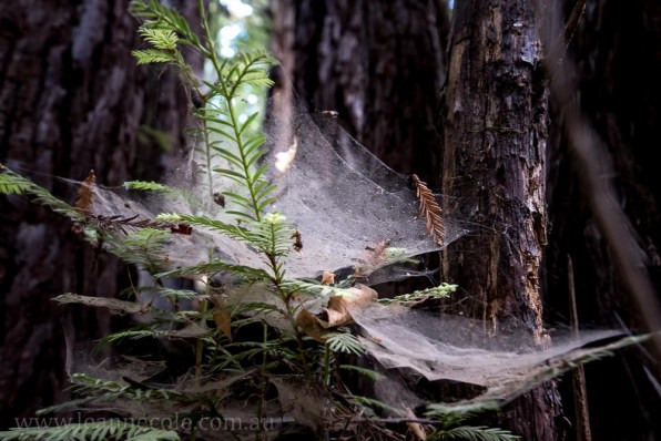 henry-cowell-redwoods-santacruz-mountains-4543