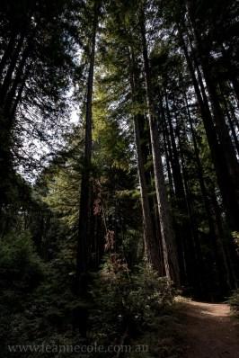 henry-cowell-redwoods-santacruz-mountains-4563