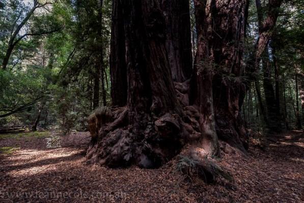henry-cowell-redwoods-santacruz-mountains-4588