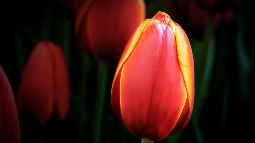 MIFGS-tulips-flower-macro-melbourne