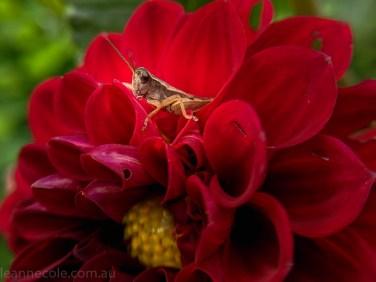 country-dahlias-flowers-macro-autumn-095633