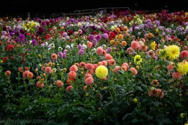 country-dahlias-flowers-macro-autumn-3069