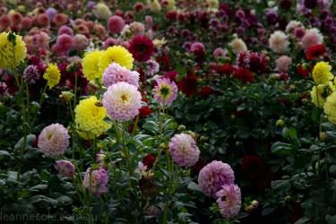 country-dahlias-flowers-macro-autumn-3074