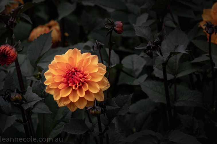 country-dahlias-flowers-macro-autumn-3130