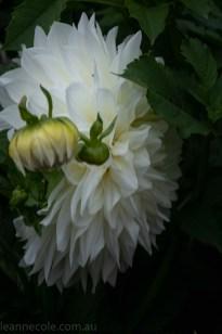 country-dahlias-flowers-macro-autumn-3139
