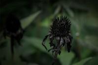 rudbeckia-alowyngardens-dead-seasons-1631