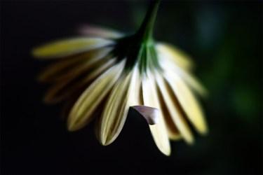 flower-alowyn-gardens-class-velvet56