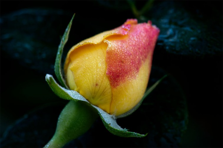 rose-class-macro-alowyn-gardens