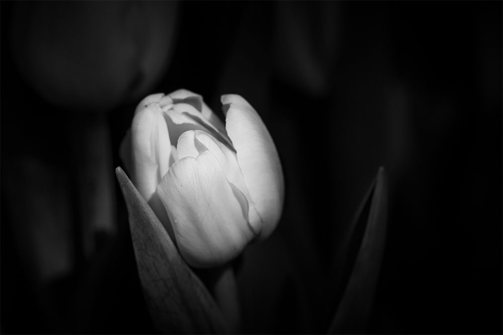 Floral Friday - Light hitting a Tulip