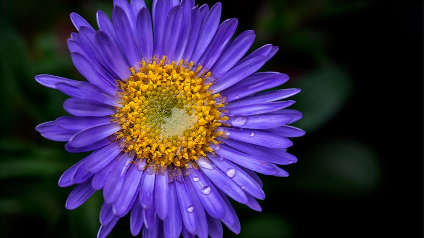 Floral Friday - My Asters are flowering