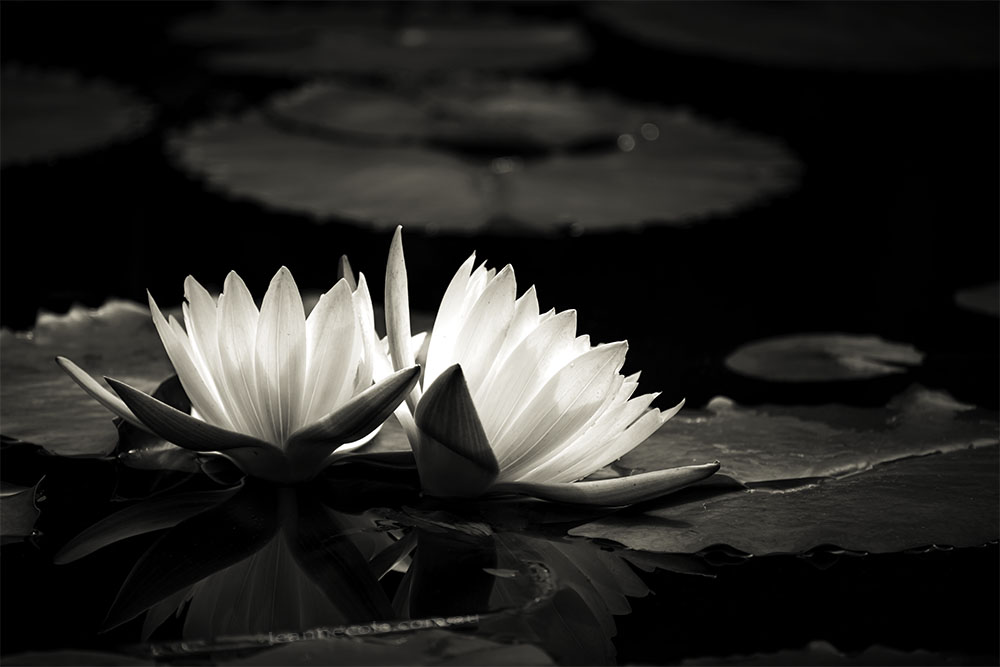 Monochrome Madness - Lotus