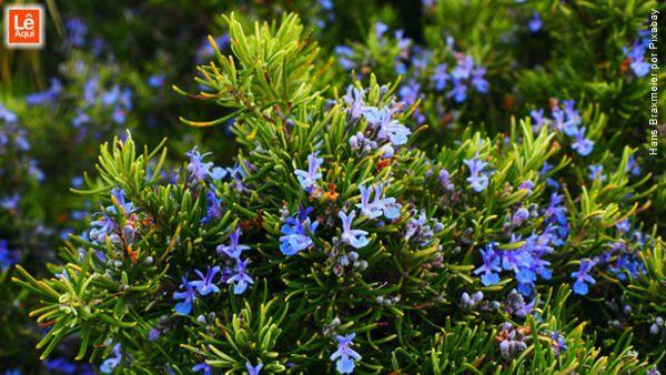 Plantas de alecrim com suas flores azuladas e violeta.