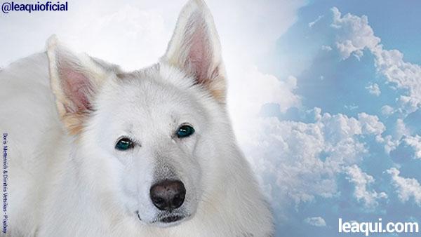Em primeiro plano um belo cão pastor branco tendo atrás de si uma luz muito alva e bela e mais ao fundo o céu com nuvens ligação espiritual animais