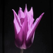 lilac-tulip-real