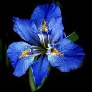 sapphire-iris-real