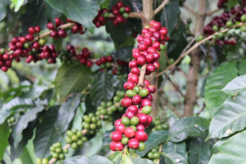 The Journey Of The Coffee Bean From Plant To Cup