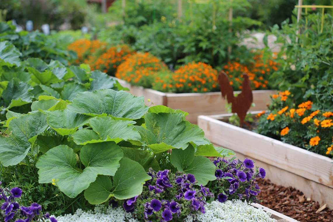 Companion Planting For Raised Garden Beds Eartheasy Guides Articles
